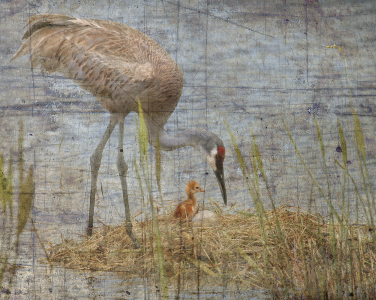 Sandhill Crane tending the nest